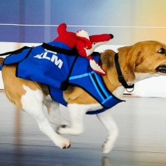 Beagle no aeroporto